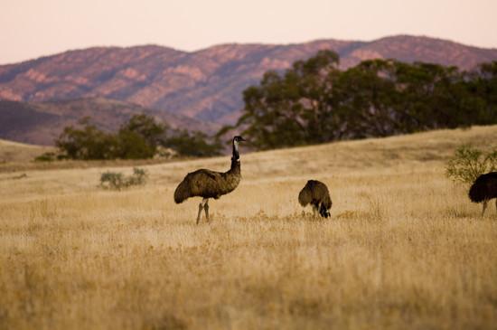 Emus and the Flinders Range