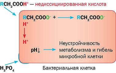 Рис. 4. Действие кислот на бактериальную