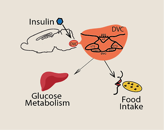 Fir insulin sensing_new.png