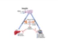 mitochondria scheme.png