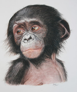 e bonobo Manue Guimard