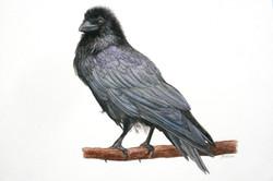 Le corbeau Manue Guimard