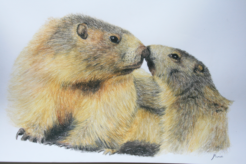 Les marmottes