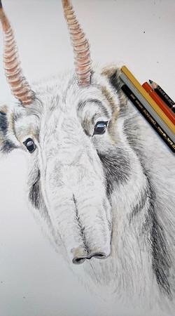 Antilope Saïga