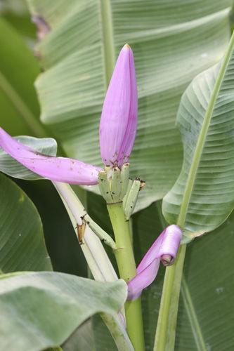 Lilac Ornamental Banana