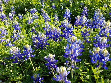 Bluebonnets and Impatience