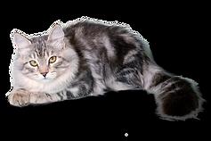 сибирские котята Siberian kittens