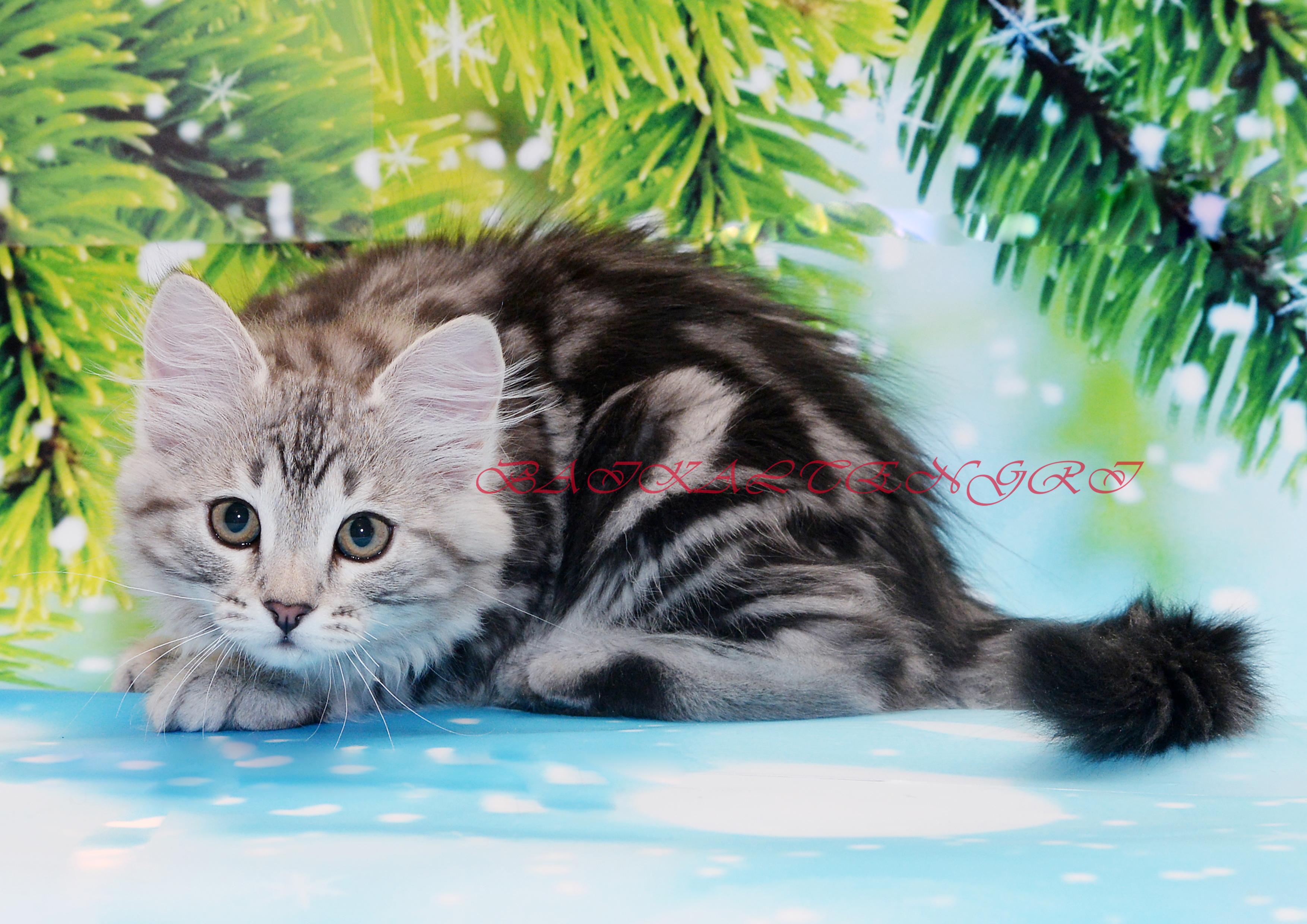 Siberian kittens for sale, сибирские