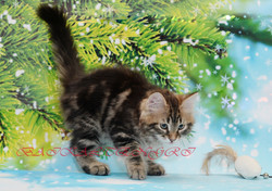 Siberian kittens for sale, сибирские