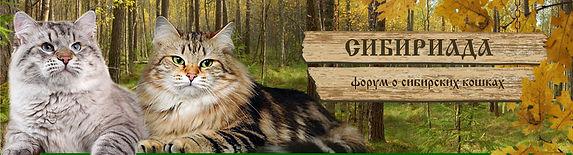 Cattery of Siberian cats Baikaltengri