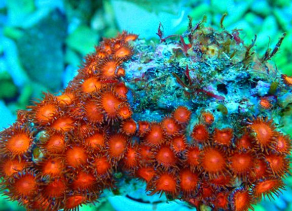 Keds Reds Zoanthid Colony