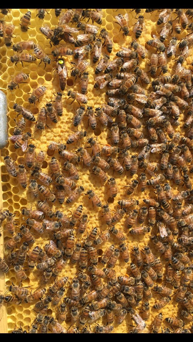 II'd breeder queen in untreated test colony
