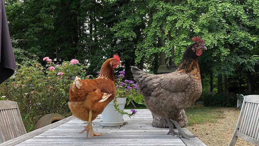 Er komt nog wel eens kip op tafel