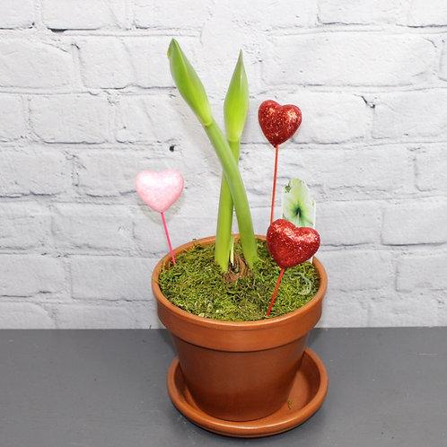 """Emerald Dawn Amaryllis 6"""" Planter"""