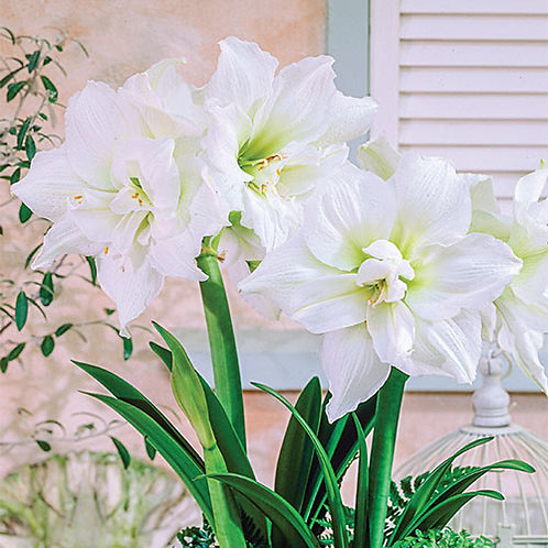 "White Nymph Amaryllis 10"" Teal & Silver Planter"