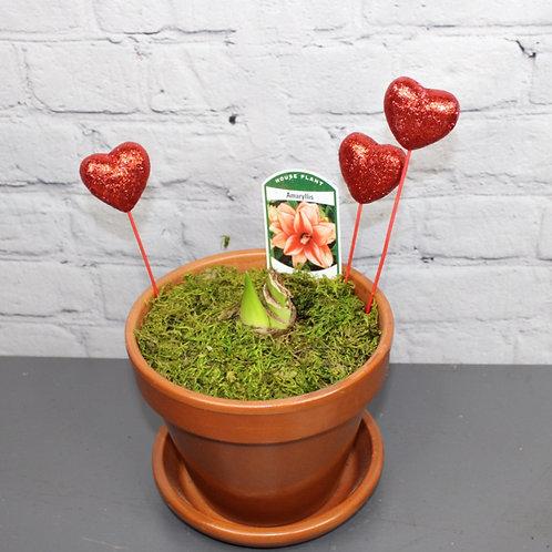"""Sweet Nymph Amaryllis 6""""Planter"""