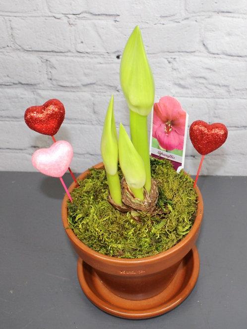 """Bolero Amaryllis 6"""" Planter"""