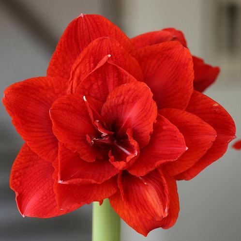 Malaga Amaryllis Bulb