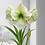 "Thumbnail: Emerald Dawn Amaryllis 10"" Cranberry & Gold Planter"
