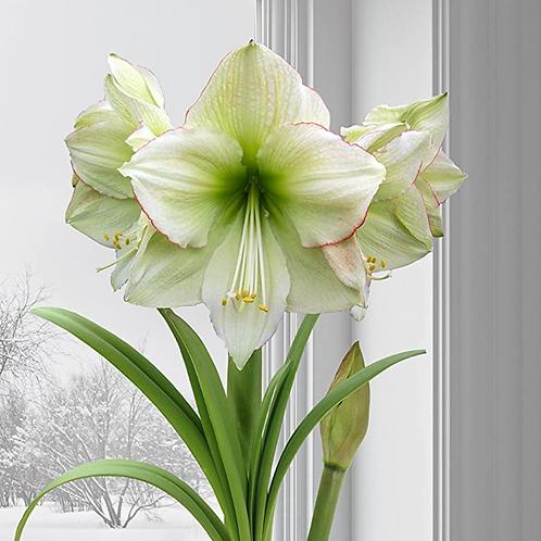 "Emerald Dawn Amaryllis 8"" Cranberry & Gold Planter"