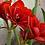Thumbnail: Malaga Amaryllis Bulb