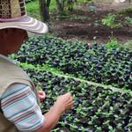Semence de café de Colombie