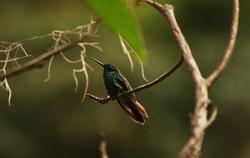 Colibri dans le parc Otun Quimbaya