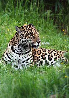 Jaguar Llanos Colombie