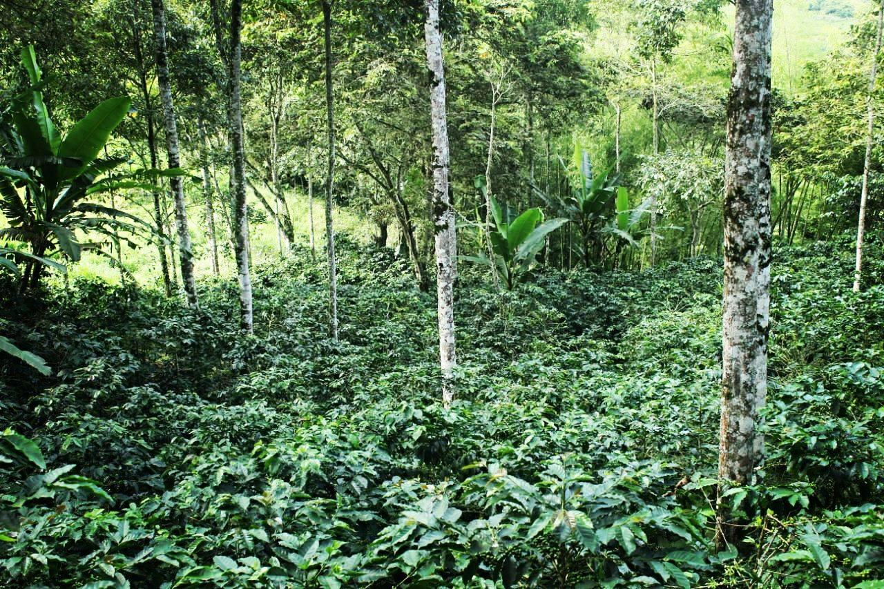 Plantation de café à Fredonia