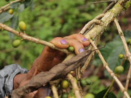 Rencontre avec les cueilleuses de café de Colombie