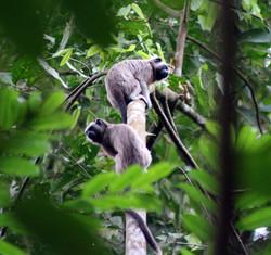 Titi gris en Colombie