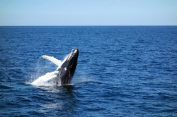 Observation de baleines à bosse