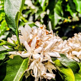 Café La Vasconia en fleur