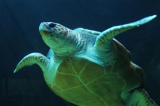 Plongée avec les tortues au Parc Tayrona