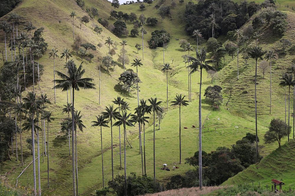 Palmiers de cire en Colombie