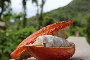 Visite cacao à Minca, Colombie