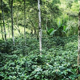 Plantation de Café Luna Llena