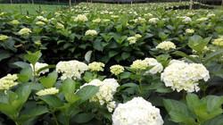 Production d'hortensia