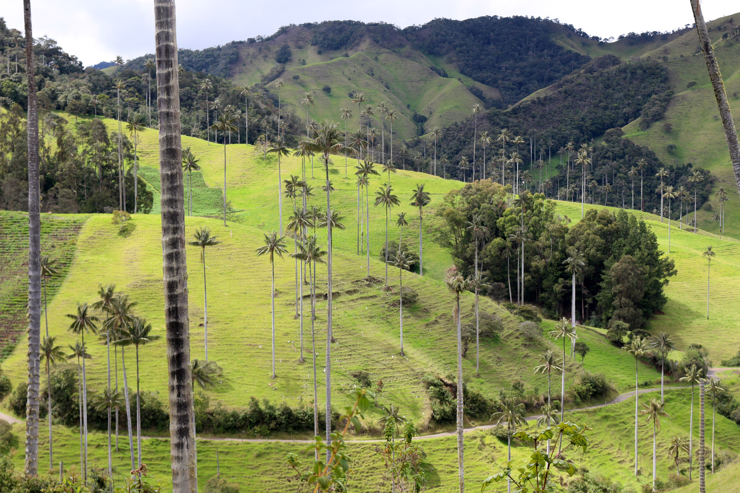 Les palmiers de cire de San Felix