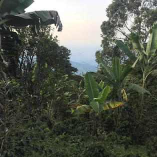 Plantation du café La Nogalera