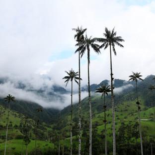 Vallée Cocora et ses palmiers, Colombie