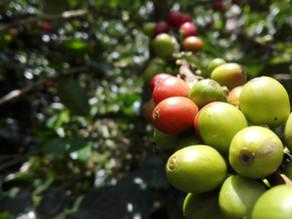 Les variétés de café Arabica