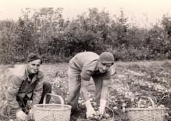 POW picking potatoes,1945
