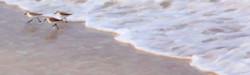 Sanderling's 1