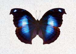Blue Butteryfly