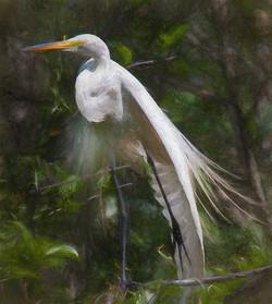 Great Egret VII