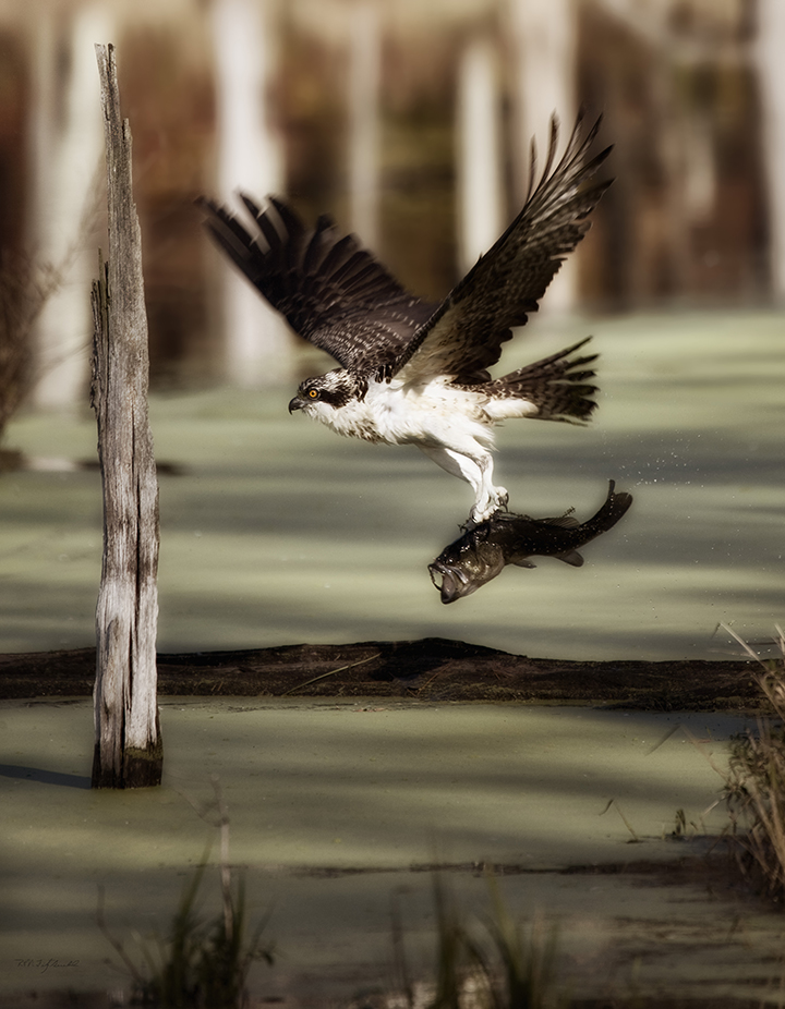 Osprey and Large Mouth Bass