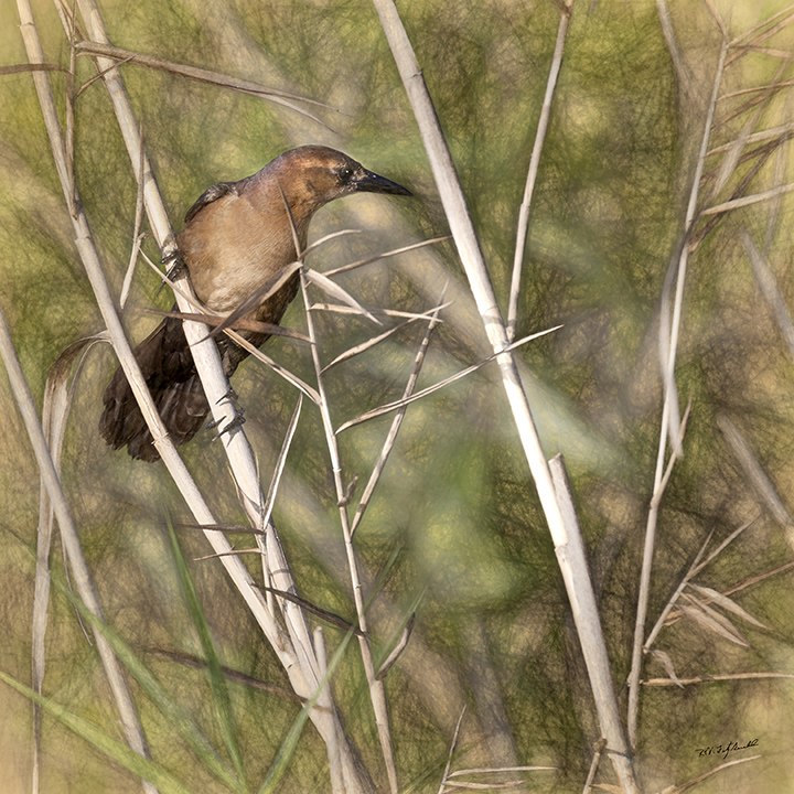 Boat-tailed Grackle Juvenile