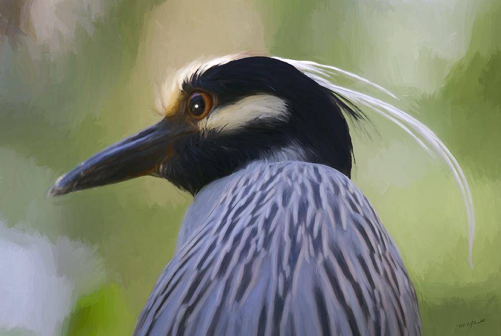 Yellow Crowned Night Heron IIa