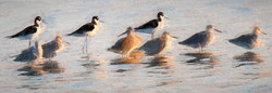 Black Necked Stilts and Willets